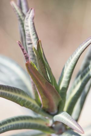 Euphorbia lathyris gopher spurge green plant in nature