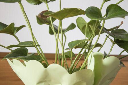 Anthurium plant green plant in a vase