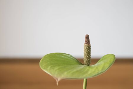 Anthurium flower green composition in a house composition