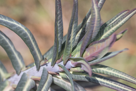 Euphorbia lathyris gopher spurge green plant composition Stock Photo