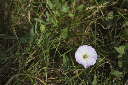 Pink detailed morning glory flower in a green meadow composition