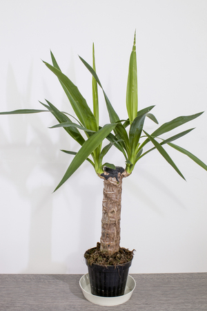 Evergreen plant detailed yucca plant with green leavesin a white background composition