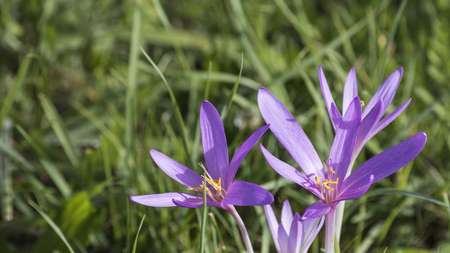 Detailed crocus flowers on a green meadow composition
