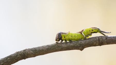 Detailed green caterpillar on a branch in a natural environment composition Stock Photo