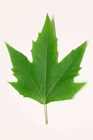 Green leaf of maple - park tree. photo