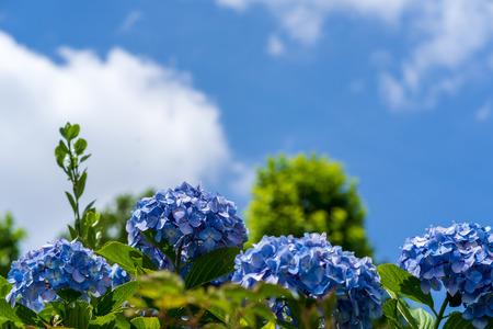 Blauwe lucht en hortensia Stockfoto