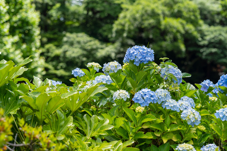 Hydrangea photographed in the garden