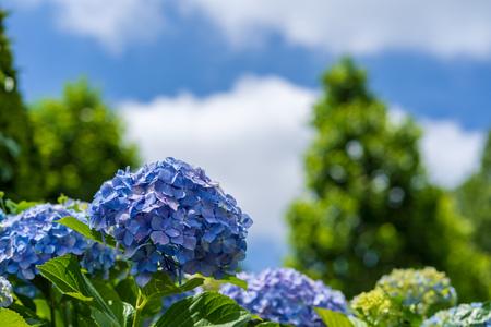Blue Sky and Hydrangea Фото со стока