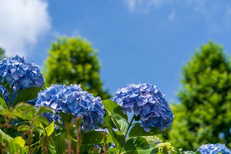 Blue Sky and Hydrangea Standard-Bild
