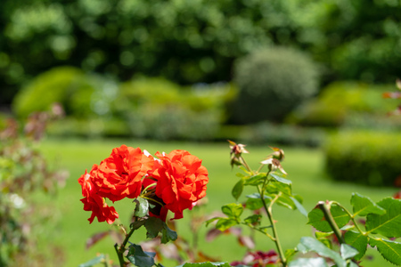 The rose which I photographed in a garden 스톡 콘텐츠