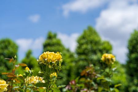 Rose with blue sky Standard-Bild