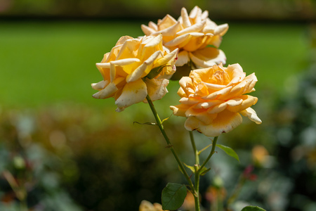 The rose which I photographed in a garden Standard-Bild