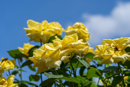 Rose with blue sky 스톡 콘텐츠