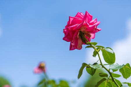 Rose with blue sky Фото со стока