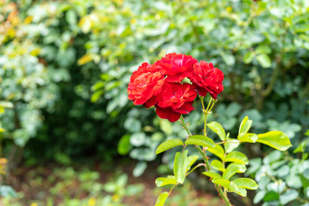The rose which I photographed in a garden Фото со стока