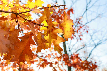 Red-yellow maple leaves against blue sky background with Sun. It is Autumn