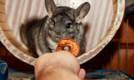 man give an apple for big fluffy gray chinchilla. close-up portrait