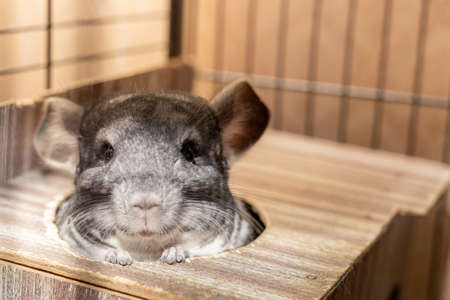 gray fluffy chinchilla pulled her head out of her house and looks at us