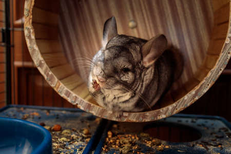 fluffy gray chinchilla sits in a wheel in its cage 免版税图像
