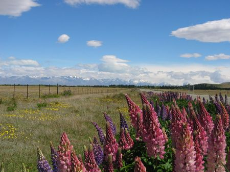 lupines: Lovely lupines in New Zealand Stock Photo