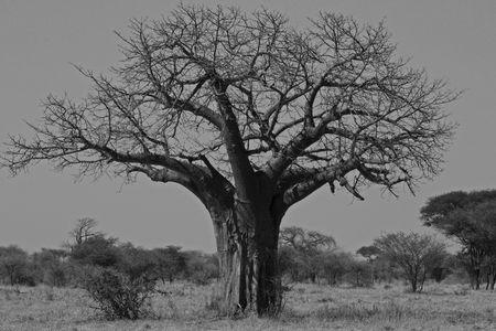 Baobab tree in Tarangire National Park in Tanzania