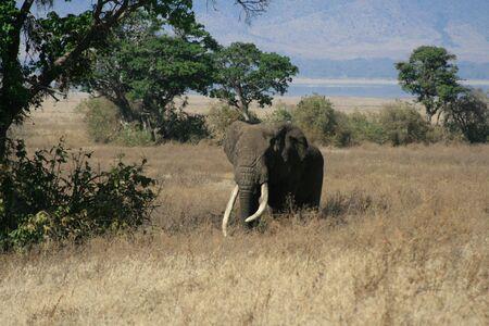 Elephant in Ngoro Ngoro National Park in Tanzania