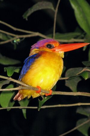 Malaysian Bird Stock Photo