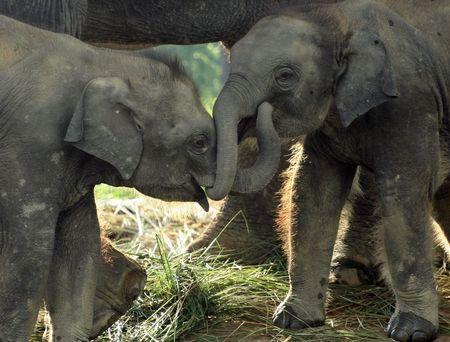 Two baby eliphants in Chitwan National Park in Nepal