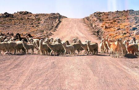 Lamas and Alpacas crossing the road Stock Photo