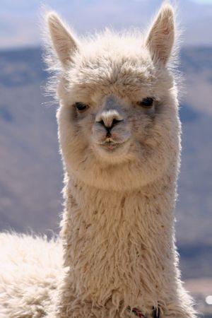 alpaca: Alpaca