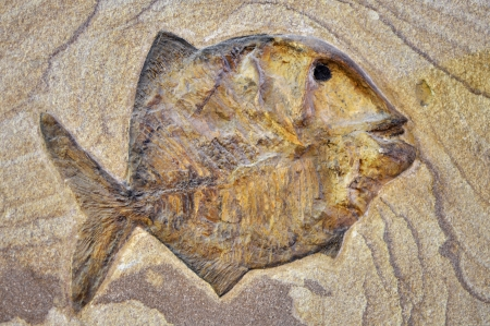 fossilized: Fossil prehistoric fish on brown rock