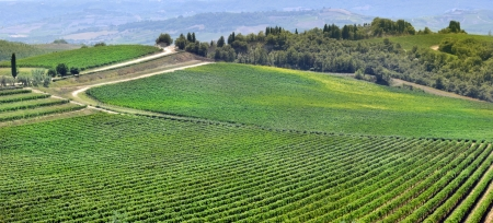 Panoramic view of a vineyard in the Tuscan countryside photo