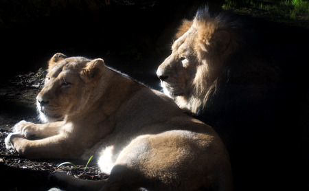 couple of lion and lioness lying in the sun  silhouette photo