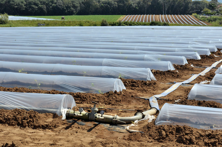 polythene: Field of vegetable crops in rows covered with polythene cloches protection Stock Photo