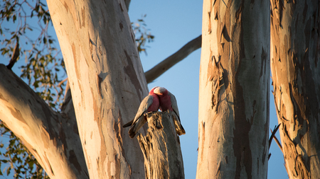 A pair of Gallahs posing on a tree at Sunset