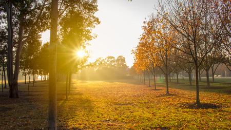 Morning sun shining through the trees of autumn and illuminating shafts of mist. Stock Photo