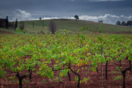 Autumn, winter season view of a field of grape vines.