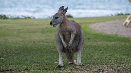 The antilopine kangaroo, sometimes called the antilopine wallaroo or the antilopine wallaby, is a species of macropod found in northern Australia. Stock Photo