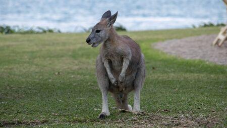 The antilopine kangaroo, sometimes called the antilopine wallaroo or the antilopine wallaby, is a species of macropod found in northern Australia. Stock fotó