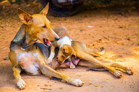 wild dog: Wild dog feeding, India