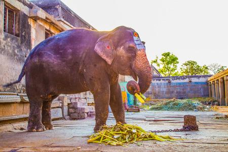 karnataka: Holy Indian Elephant, Hampi,  India