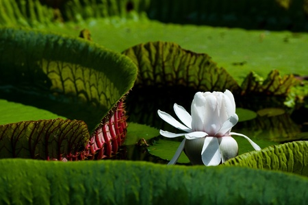 Victoria regia - The giant water liliy close-up photo