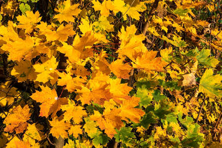 Branches laden with bright yellow speckled autumn maple leaves. Gold color dominates