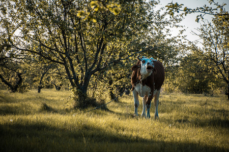Earthbound Cow in the Garden