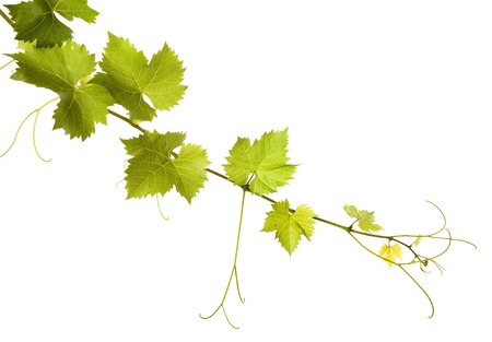 botanical branch: Vine leaves on a white background