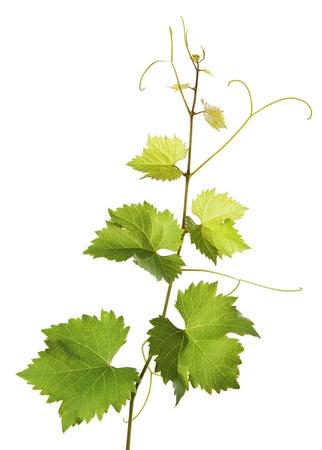 Grape vine Reklamní fotografie
