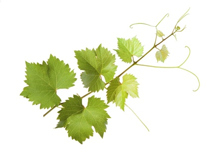 Vine leaves on a white background photo