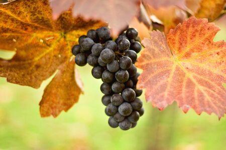 Racimo de uvas en la vid