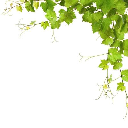 vine leaves: Collage of vine leaves on white background