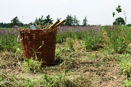 Basket on the field during harvesting lavender photo